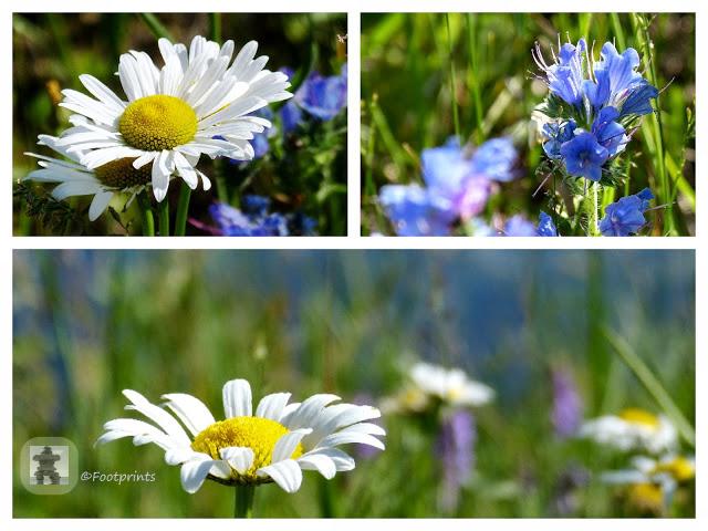 Wilde Kamille, rosa Klee und blauer Vipers Bugloss ...