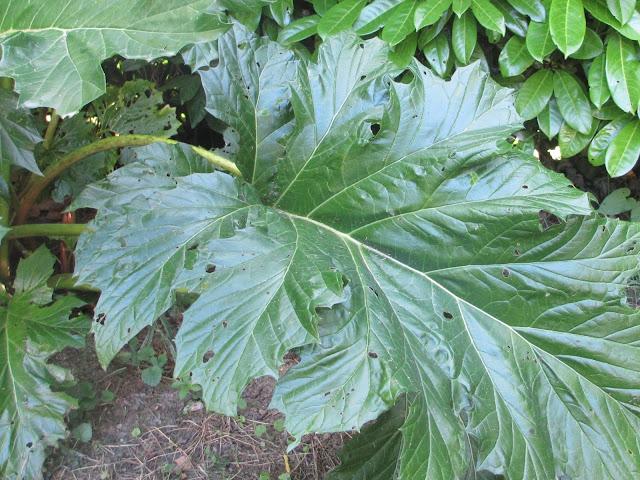 Acanthus mollis leaves