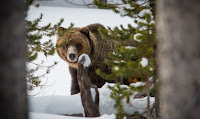 A grizzly bear at Yellowstone National Park. (Credit: Yellowstone National Park/flickr) Click to Enlarge.