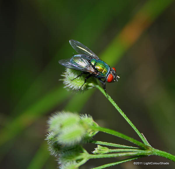 Common Greenbottle fly Lucilia sericata