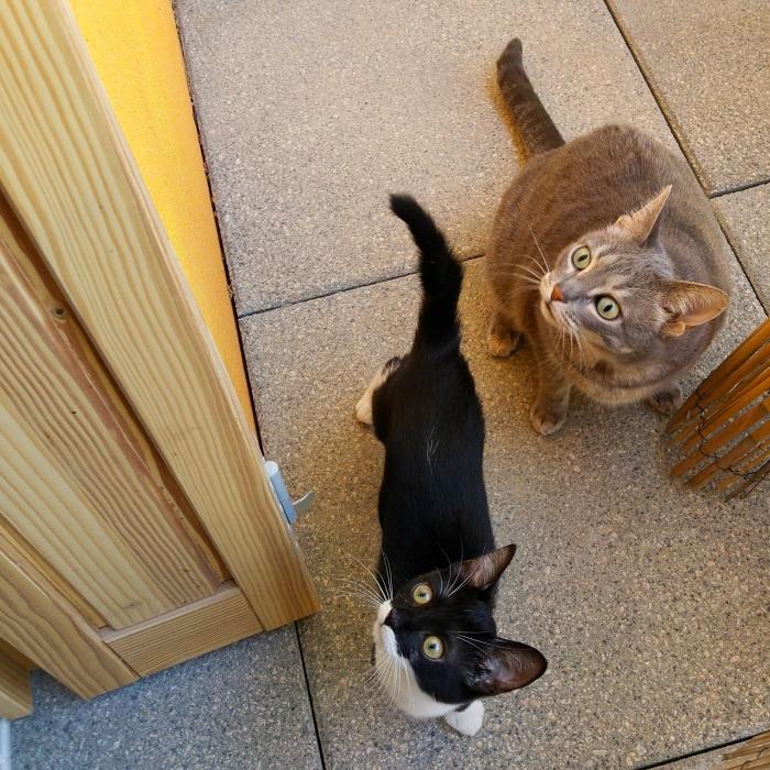 Photo de Châtaigne et Luna, chattes tigrée et tuxedo d'Hello c'est Marine