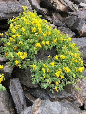 [Papaveraceae] Pseudofumaria lutea – Yellow Corydalis (Colombina gialla)