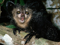 Aye-Aye Animal Pictures