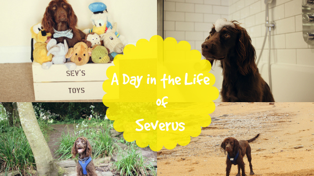 A Day in the Life of a Cocker Spaniel | Steph & The Spaniels