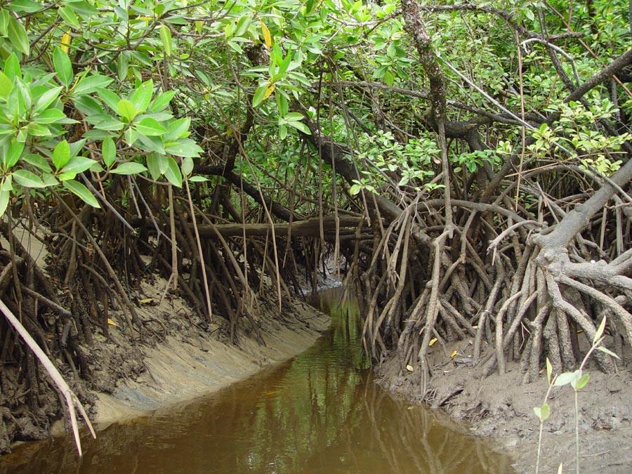 benngiles: Biomimicry, (Mangroves)  benngiles: Biom...