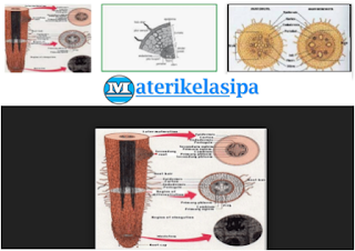 Struktur Morfologi dan Anatomi Akar