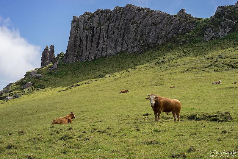 vacas na ilha das flores