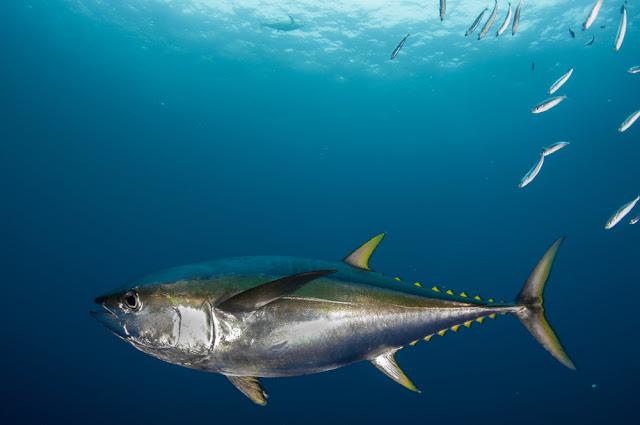 ما هي التونة سمك التونة
