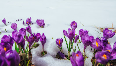 Crocus flowers pushing through snow.