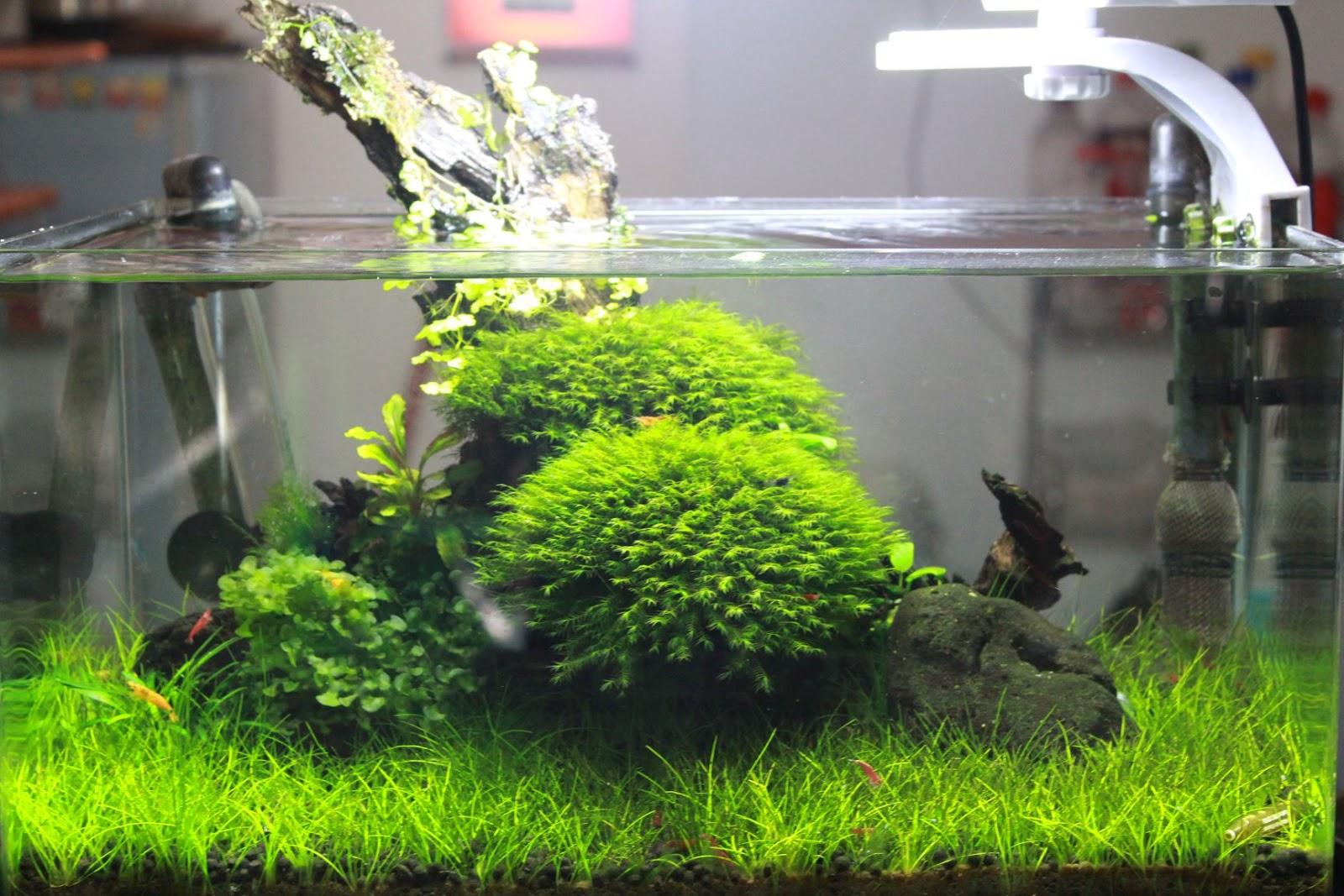 Rêu us-fiss trong hồ thủy sinh của bạn Tùng Hoàng Nguyễn