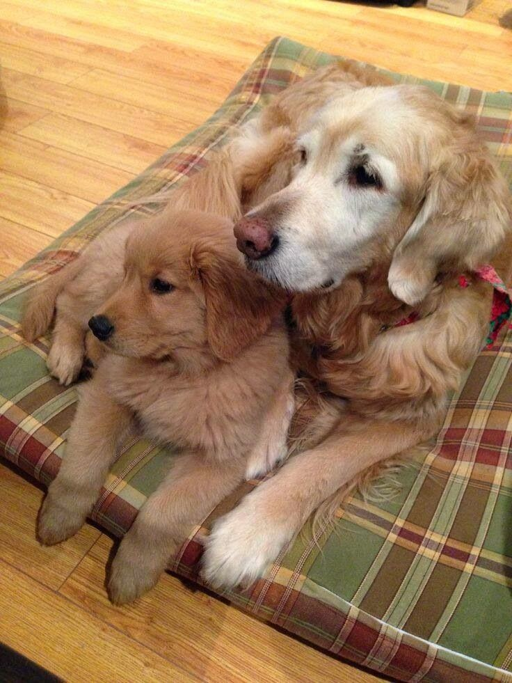 Cute Baby and Golden Retrievers Puppies
