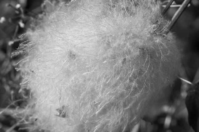 Waterton Canyon: Tufted Seed Pod