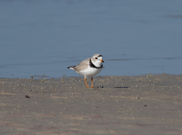 Piping Plover - Bunche Beach, Florida