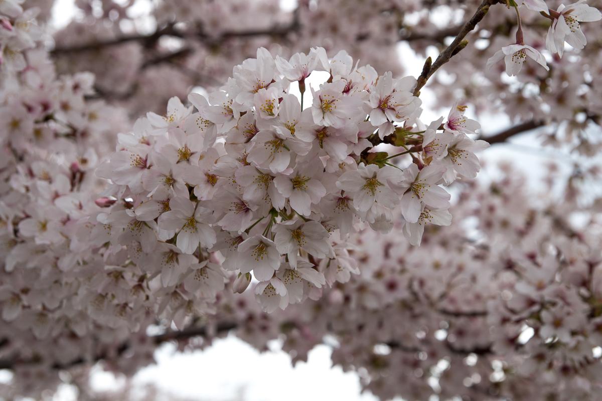 夜ノ森駅・西側の桜