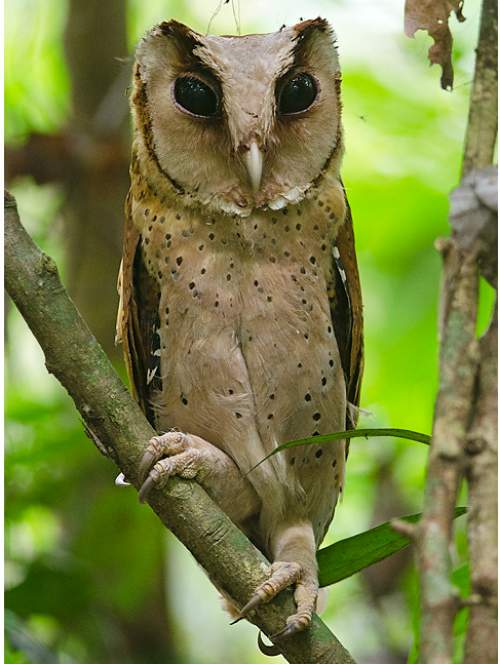 Birds of India - Sri Lanka bay owl - Phodilus assimilis