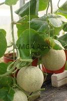 tabulampot,budidaya,budidaya tanaman,pertanian,lmga agro