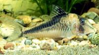 Jenis Ikan Corydoras fowleri