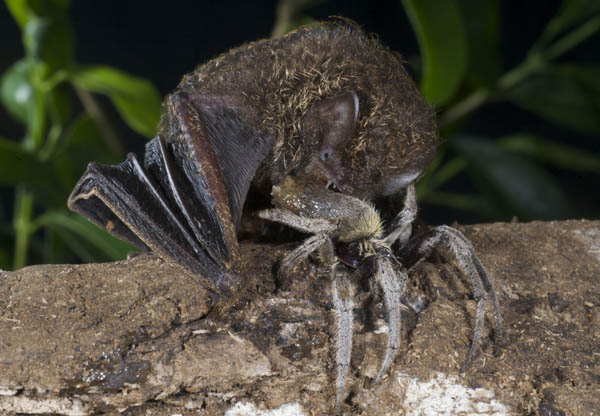 spider eaten by bat