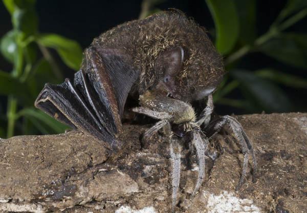 spider eaten by bat