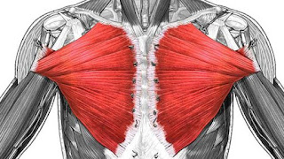 pectoralis major muscle, anatomy, muscle picture
