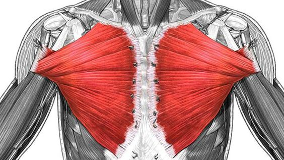 Pectoralis Major On Women : Pectoralis Muscles are more commonly known as the Chest ...