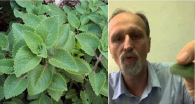 Meet The ''Vaporub'' Plant, It Can Treat Sinusitis And Diabetes And Strengthen Your Heart