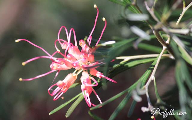 Grevillia flower