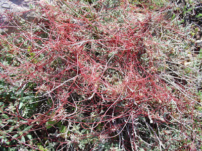 Κουσκούτα η επίθυμος - Cuscuta epithymum