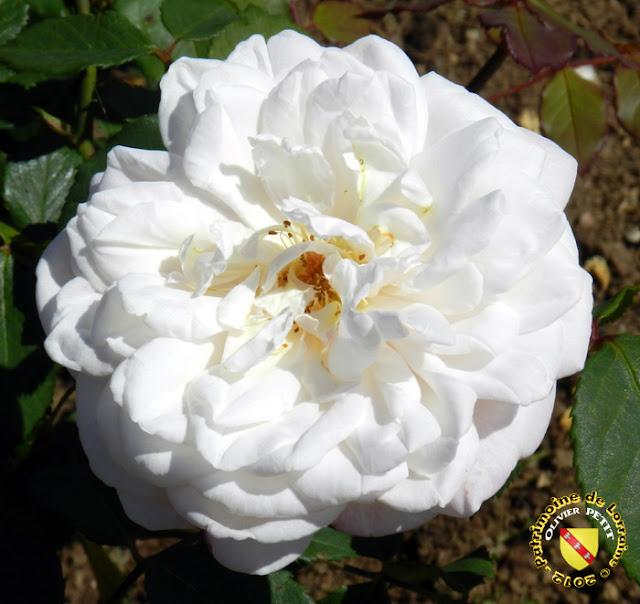 VILLERS-LES-NANCY (54) - La roseraie du Jardin botanique du Montet - Rose Gruss an Aachen