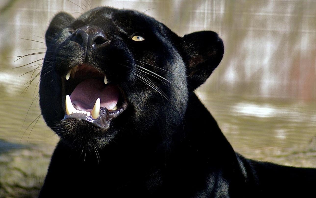 Pantera Negra: Blog Do Edu Ambiental: Imagens De Pantera Negra