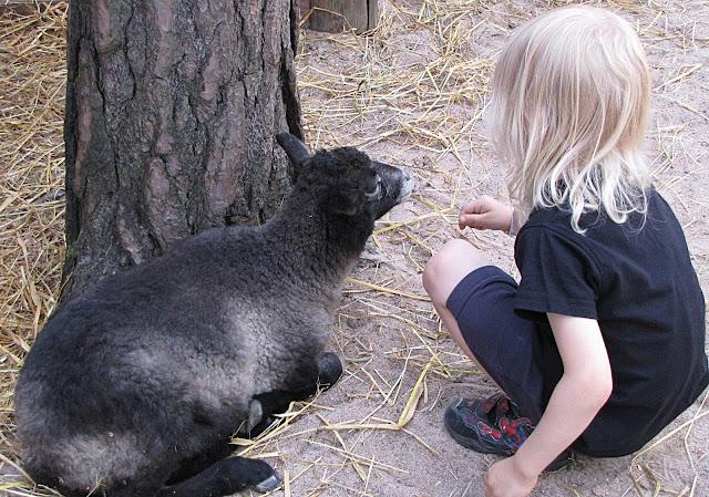 eläinpuisto lammas