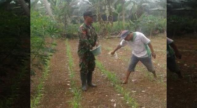 Babinsa Koramil  06 / LP Lakukan Pemupukan Tanaman Jagung Bersama Petani Desa Bakaran Batu