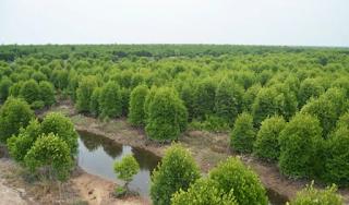Ketergantungan Kepiting Bakau pada Ekosistem Mangrove  Kabar Terbaru- KETERGANTUNGAN KEPITING BAKAU PADA EKOSISTEM MANGROVE