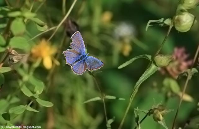 Polyommatinae, blåvinge