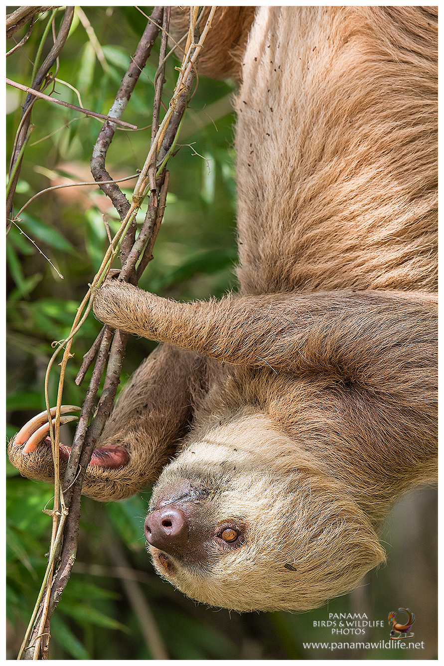 What S Good For Roaches: Featured Species: Hoffmann's Two-toed Sloth (Choloepus