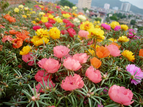 hoa mười giờ có mấy màu