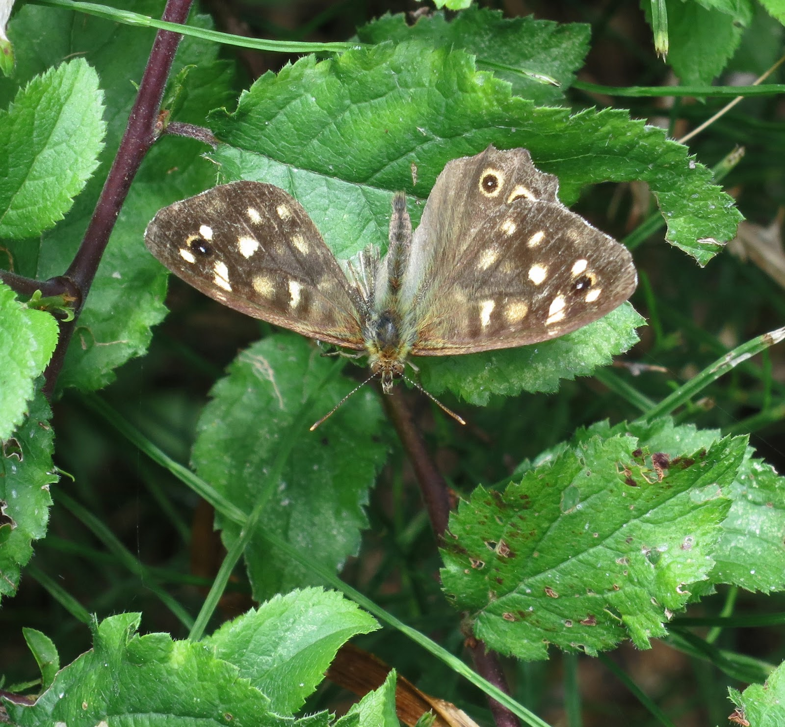 Brown butterfly with major part of one wing missing.