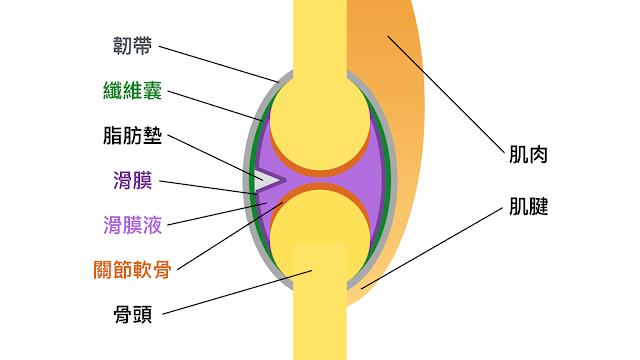 好痛痛 關節 關節囊 滑液囊 滑囊液 關節軟骨 滑膜 脂肪墊 纖維囊