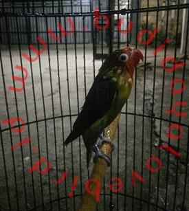 Manfaat Terapi Mandi Malam Untuk Burung
