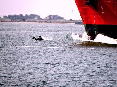 Golfinhos Guiando Navios No Canal da Barra