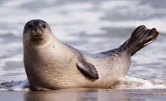 49++ Apa beza anjing laut dan singa laut terbaru