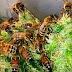 BRILLIANT: Beekeeper Train Bees To Make Honey From Cannabis (A Cure For Deadly Deceases)