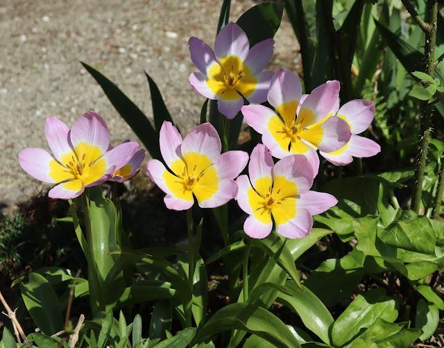 Tulip bakeri Lilac WonderRock Garden Doddington Place Kent