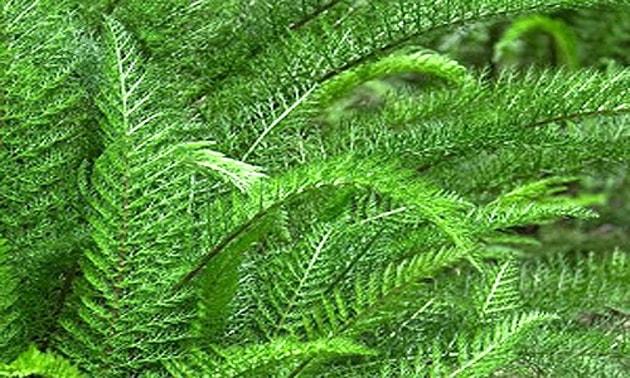 Mil folhas (Achillea millefolium L.)