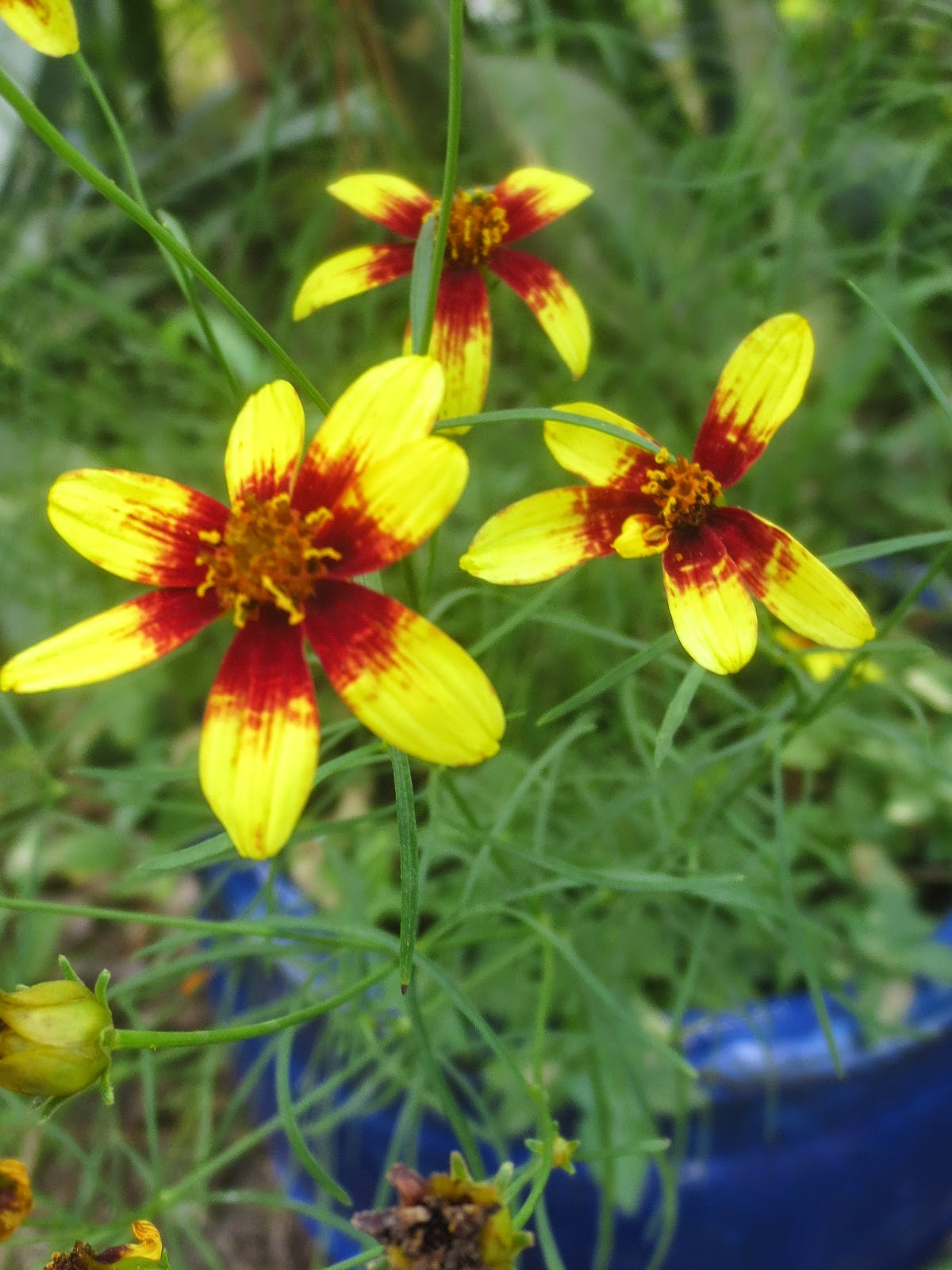 This Is Now My Third Season With Coreopsis Route 66 It Came Back From The Roots Time