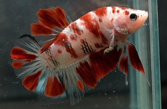 Ikan Cupang Koi Tiger - Ikanhiasku.net