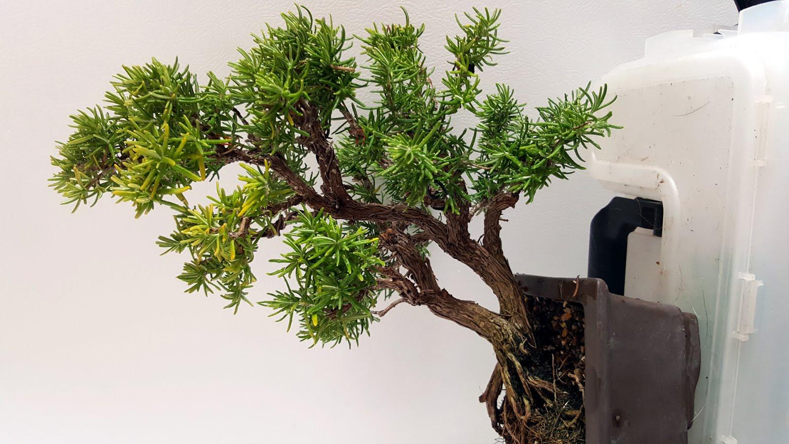 Bonsai Misadventures Rosemary Bush Year End Bonsai