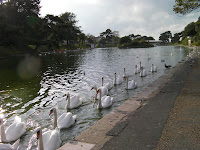 swans on lake isle of wight vectis
