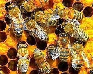 Foto de abejas trabajando en equipo