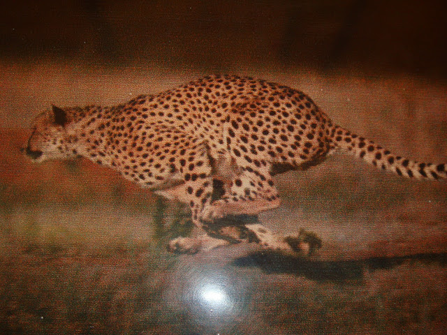 Amazing Cheetahs Facts, Amazing Cheetah